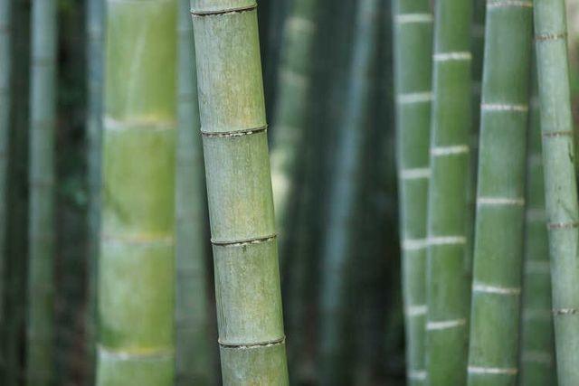 Cây tre có phải là gỗ? Đặc điểm của cây tre là gì?
